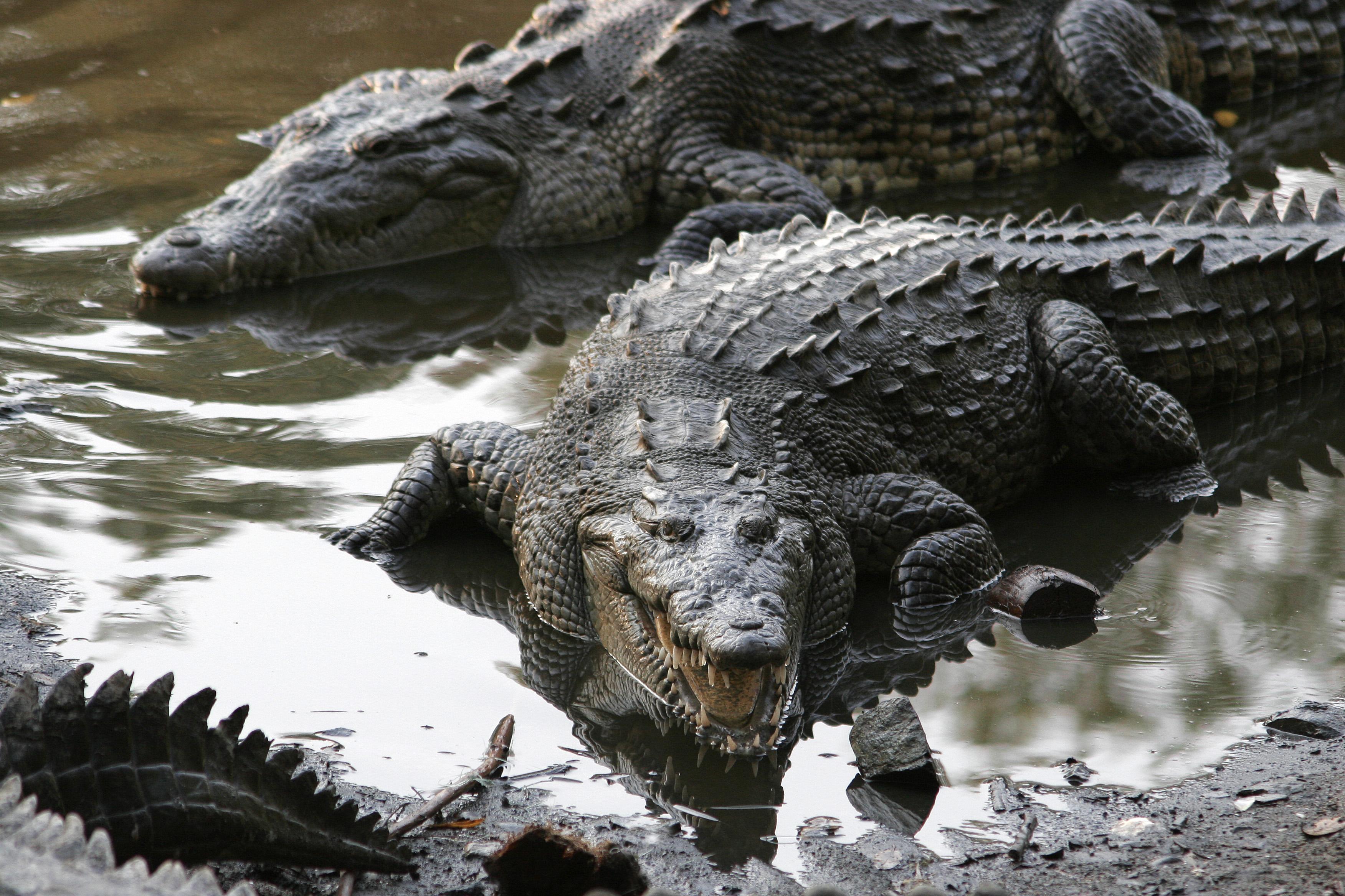 20160606_crocodylus_acutus_jalisco_mexico